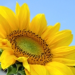 sunflower-sh_48452296